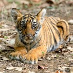 Tigress Noor Cub