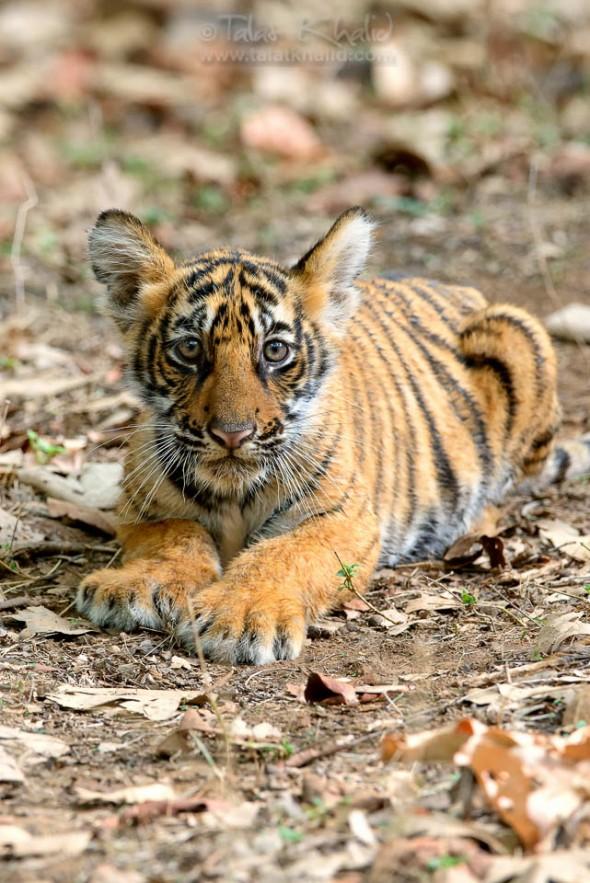 Tigress Noor Cub