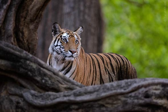 Rajbehra Tigress from Bandhavgarh