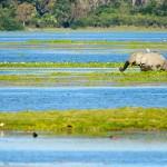 Elephant scape in kaziranga lake