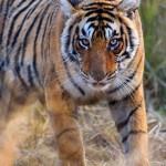Young tigress staring
