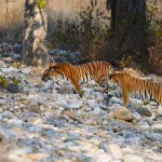 Tigers crossing dry riverbed