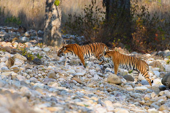 Tigers Crossing corbett