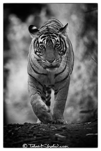 tigress noor t19 ranthambore
