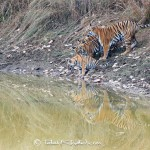 Tigress with cubs at waterhole